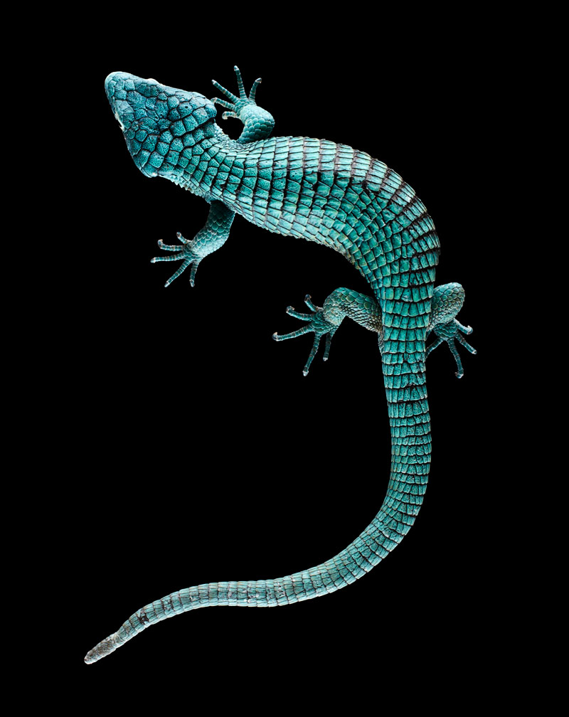 Abronia graminea, Mexico, No. 2